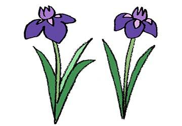 菖蒲の花・ハナショウブ・アヤメ・カキツバタ・フリーイラスト・かわいい手書き・無料素材・端午の節句・こどもの日